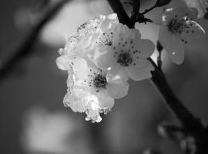 neve-di-primavera-fiori-a20455353
