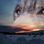 sfondi-occhi-di-lupo p